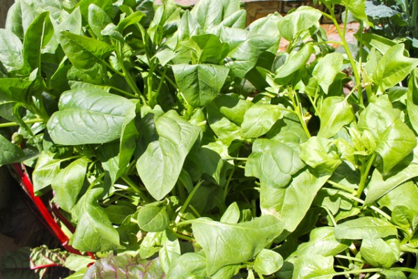 diy - spinach 2